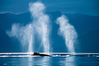 humpback whales, Megaptera novaeangliae, spouting, whale blow is 2-3 meters high, Alaska, USA, Pacific Ocean