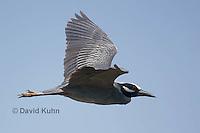 0831-0902  Yellow-crowned Night Heron in Flight, Flying heron, Nyctanassa violacea © David Kuhn/Dwight Kuhn Photography