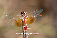 06664-001.18 Band-winged Meadowhawk (Sympetrum semicinctum) male perched near wetland, DuPage Co., IL