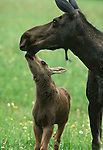 A moose with her calf.