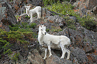 Dall Sheep mother and lamb standing and posing on rock cliff, Alaska.
