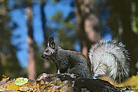 Kaibab Squirrel or tassel-eared squirrel (Sciurus aberti).  North Rim of Grand Canyon, Arizona.  Fall.
