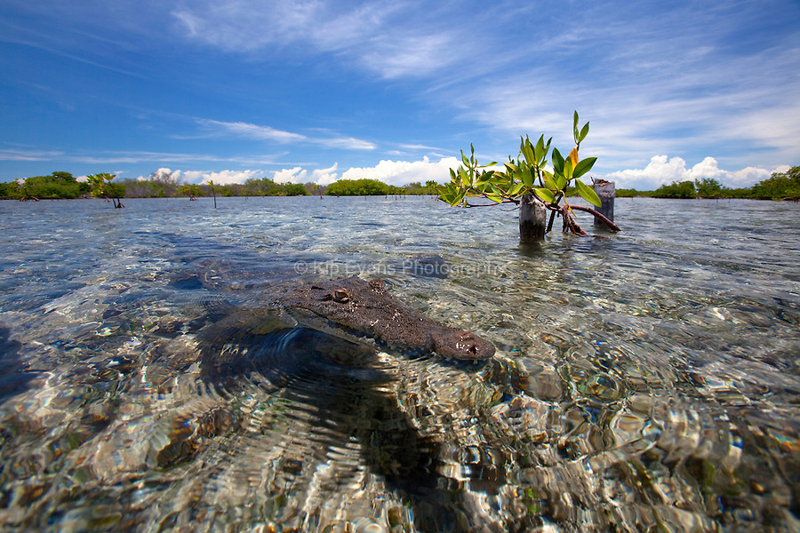 A view of a American Crocodile at the surface of the water in a shallow water of a mangrove forest in Cuba.