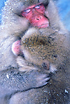 Japan, Nagano, Jigokudani, Snow Monkey Madona, Japanese Macaque, (Macaca fuscata)
