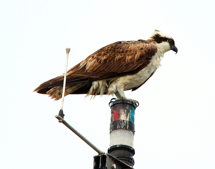 Adult osprey perched on boat mast