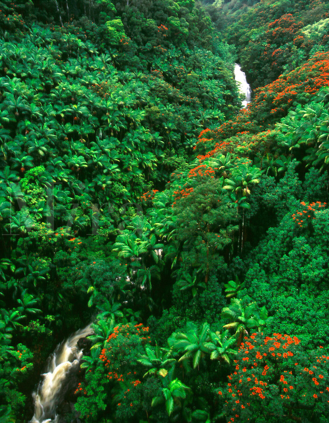 An Aerial view of African Tulip and palm trees along the Nanue Gulch in Hawaii. Hamakua Coast, Island of Hawaii.