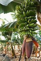 Spain, Canary Islands, La Palma, banana plant