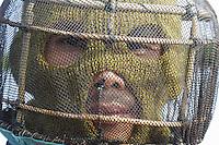 Portrait of a beekeeper with a tikung with a locally-made mask of rattan and fishnet. ///Portrait d'un apiculteur sur tikung avec un masque de fabrication locale construit en rotin et avec du filet de pêche.