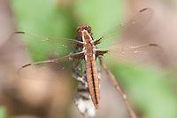 White Corporal (Ladona exusta) Dragonfly - Juvenile Female, Cranberry Lake Preserve, Westchester County, New York