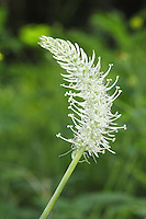 Spiked Rampion Phyteuma spicatum Height to 70cm<br /> Upright member of the bellflower family. Grows in shady hedgerows and beside woodland paths. Leaves are oval and borne in a basal rosette. Flowers are white and rather plantain-like; in spikes (to 5 cm long) on long stalks, May-June. Status-Very rare, and restricted as a native plant to East Sussex. Occasionally, sometimes appears as a garden escape.