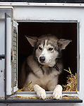 A sled dog looks out from its kennel at the ceremenial start of the 43rd Annual Iditarod in Anchorage, Alaska. The 1000 mile dog sled race usually restarts in Willow, Alaska, and finishes in Nome. Poor snowfall, however, forced the restart north to Fairbanks.