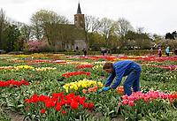 Hortus Bulborum in Limmen.  In de tuin staan meer dan 4000 soorten. De hortus, waarin voornamelijk tulpen staan, is in 1928 opgericht. Man verwijdert de bloemen van de tulpen, zodat de bollen verder kunnen groeien. Veel mensen bezoeken de hortus tijdens de jaarlijkse Bloemendagen