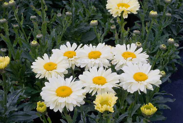 Leucanthemum Real Dream L710-1