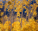 Autumn aspen fence; Mt. Nebo Wilderness, Wasatch Mountains