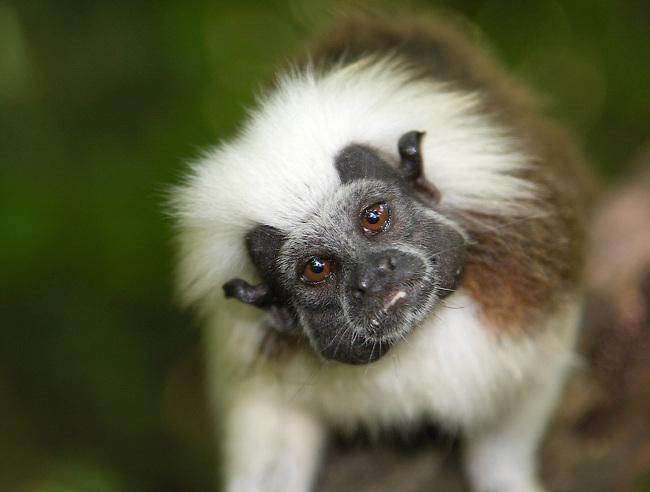 Wild Cotton-top tamarin (Saguinus oedipus) close-up. Colombia...IUCN List: Critically Endangered..Digital Capture..