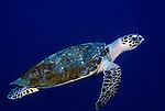 Green Turtle, Chelonia mydas, Sipadan Island, swimming in blue, Celebes Sea, Sabah Borneo.Malaysia....