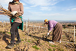 The Wine Route in early spring in Beaujolais, France. People hand pruning the vines in a vineyard just above Chiroubles, one of the 10 crus of Beaujolais