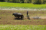 Jacob Stoltzfus harrowing spring field with six horse team percheron. Nippenose Valley, PA.