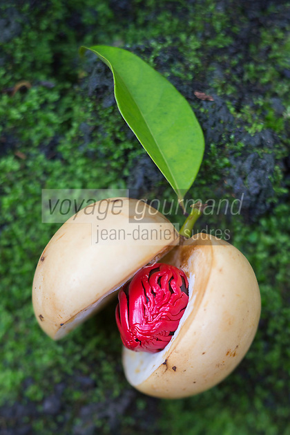 France, île de la Réunion, environ  Saint-Philippe, le Jardin des Parfums et des Epices, Noix de Muscade    // France, Reunion island (French overseas department), around Saint Philippe, Perfumes and Spices garden, Nutmeg