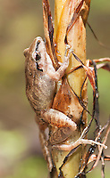 Pastures rainfrog (Cutín de potrero), Pristimantis achatinus, climbs the stalk of a plant in Tandayapa Valley, Ecuador