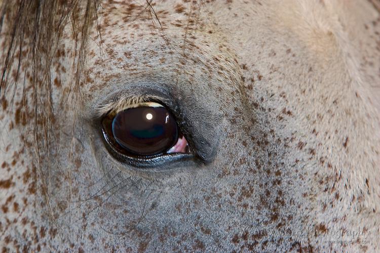 Closeup, portrait of horse's eye, Appaloosa.