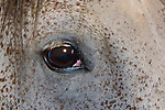 Closeup, portrait of horse's eye, Appaloosa.
