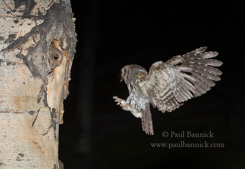 A male Flammulated Owl deliver prey to the female waiting at the cavity entrance.  The male does all of the hunting until the young are at least 10 days old.