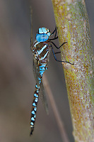 339360048 a wild male blue-eyed darner rhionaeschna multicolor perches on a tree limb near jean blanc road canal in  inyo county california