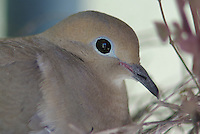Morning Dove seen up close sitting on the nest it belt on a plant shelf under a back patio of a house in Tucson Arizona.