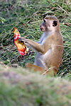 Toque Macaque With Human Trash