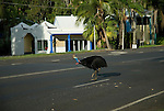 The Southern Cassowary (Casuarius casuarius) flightless bird famous in the Queensland Wet Tropics. The name cassowary is of Papuan origin. It comes from 'kasu' meaning horned and 'weri' meaning head, in reference to the casqued or helmeted head.Mission Beach, Queensland, Australia
