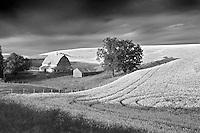 Barn and filed of canola with thunderstorm. The Palouse near Colfax, Washington