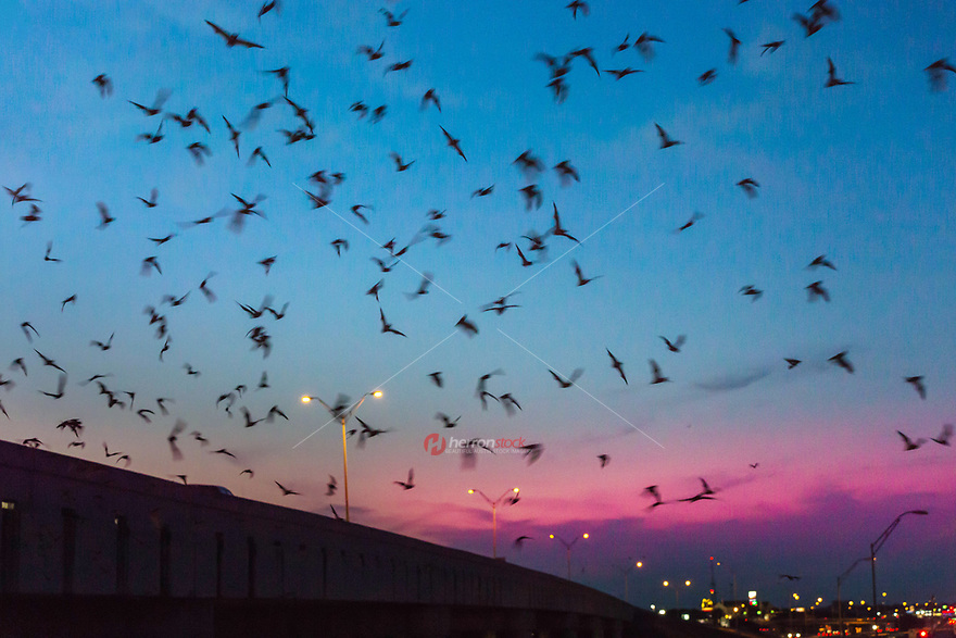 Another convenient-for-tourists (but smaller) bat colony of 50,000 thousand bats is reported 15 miles north of Austin, underneath the I-35 underpass at McNeil Road in Round Rock, Texas. Heading out to eat mosquitoes, the bats come out from under the I-35 bridge over McNeil Road.