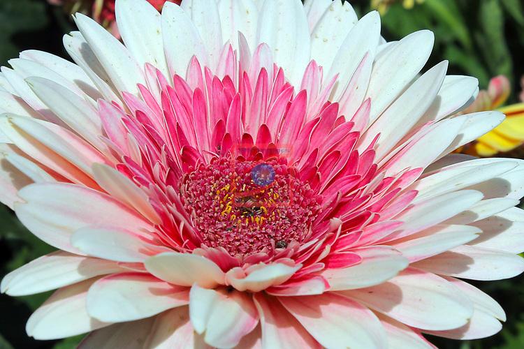 De Flor en Flor.<br /> Festival de Flors i Jardins de Barcelona.<br /> Del 13 al 17 d'abril d'enguany i al poble espanyol de Barcdelona tindra lloc aquest festival, en el que hi hauran entre altres exposicions de roses, orquidies i bonsais. Tambe hi trovareu divuit decoracions florals a diferents espais, tallers diversos i altres activitats  relacionades amb les flors, i musica en directe, a mes de les activitats habituals del Poble Espanyol.<br /> Margarita Africana (Arctotis).