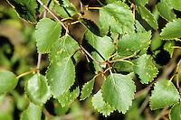 Moor-Birke, Moorbirke, Haar-Birke, Besen-Birke, Behaarte Birke, Betula pubescens, syn. Betula alba, downy birch, moor birch, white birch, downy-birch, moor-birch, white-birch, European white birch, hairy birch