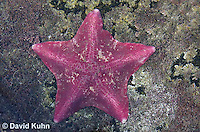 0520-1004  Purple Bat Star (Bat Starfish), Asterina miniata  © David Kuhn/Dwight Kuhn Photography