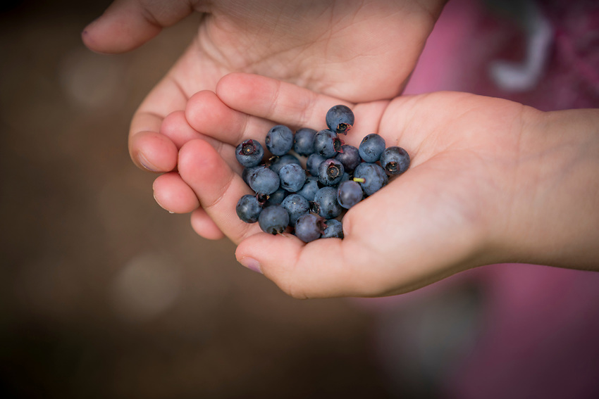 Picking bluerberries along the White Birch Trail at Pictured Rocks National Lakeshore near Munising, Michigan.