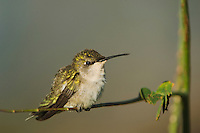 Ruby-throated Hummingbird, Archilochus colubris, female perched, Willacy County, Rio Grande Valley, Texas, USA, May 2006