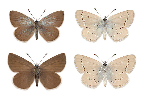 Small Blue - Cupido minimus - male (top row) - female (bottom row). Wingspan 25mm. Britain's smallest butterfly; extremely active in sunshine, lethargic on overcast days. Adults have smoky-brown upperwings, those of males having a purplish iridescence; underwings of both sexes are grey with small black dots. Flies June–July. Larva is grub-like and feeds on Kidney Vetch. Very locally common in England, Wales and southern Ireland; usually associated with chalk grassland because of  larval foodplant's requirements.