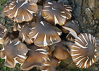 Honey Mushrooms (Armillaria mellea) parasitizing an oak tree. Oakland, Alameda Co., Calif.