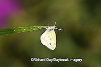 03109-001.05 Dainty Sulphur (Nathalis iole) male, Marion Co. IL