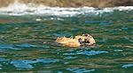 Sea Otter eating a basket star, Inian Islands, Alaska, USA