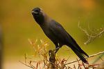 House Crow (Corvus splendens), Diyasaru Park, Colombo, Sri Lanka