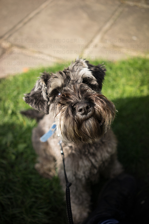 A miniature Schnauzer dog