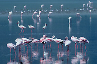 529517002 a flock of wild lesser flamingos phoenicopterus minor feeds and preens in a shalllow lake in ngorogoro crater national park in tanznia