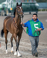 HALLANDALE BEACH, FL - JAN 06: Thewayiam #5 brought from the barn to the paddock before her win in The $100,000 Ginger Brew Stakes for trainer H. Graham Motion at Gulfstream Park on January 6, 2018 in Hallandale Beach, Florida. (Photo by Bob Aaron/Eclipse Sportswire/Getty Images)