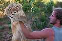 Botswana, Kalahari, Valentin Gruener playing with a lioness he raised on a private reserve from a small dying cub to a healthy adult