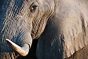 Botswana, Okavango Delta, Moremi Game Reserve, African elephant bull (Loxodonta africana) close-up of head