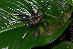 Wandering Spider, Family: Ctenidae, Guayacan, Provincia de Limon, Costa Rica, Amphibian Research Center, night, aggressive, nocturnal, hunter, dark colour, on wet forest leaf.Central America....
