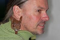 Eichhörnchen, Europäisches Eichhörnchen, verwaistes Jungtier, Junges wurde von Hand aufgezogen, Wildtier-Aufzucht, kuschelt im Rollkragen-Pullover seines Pflegers, Sciurus vulgaris, European red squirrel, Eurasian red squirrel